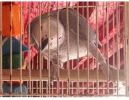 African Grey 4 month old