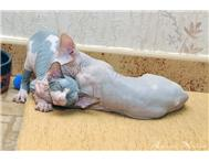 Cute Sphynx Kittens For New Family Homes