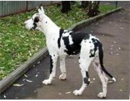Outstanding Great Danes Puppies Johannesburg