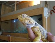 Breeding pair bearded dragons