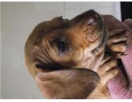 MINIATURE DACHSHUNDS-VERY SMALL & GORGEOUS