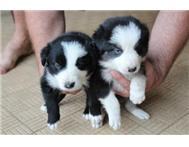 Male Purebred Border Collie in Dogs & Puppies For Sale Free State Kroonstad - South Africa