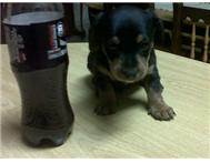 Daschund-X-Yorkie pups for sale