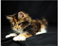 Huge intelligent healthy maine coon kittens