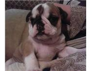 Female Purebred Bulldog in Dogs & Puppies For Sale KwaZulu-Natal Chatsworth - South Africa