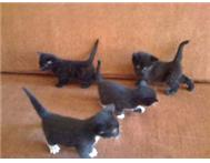 VERY LOVING BLACK & WHITE KITTENS LOOKING FOR A HOME