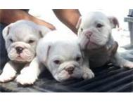 KUSA English bulldog puppies Johannesburg