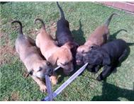 Puppies Boer-bull mix breed