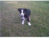 Border Collies Puppies Available.