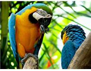 2 adorable Blue & Gold Macaw (breed...