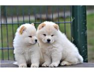 All Cream Chow Chow puppies for sale