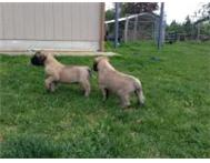 English Mastiff Puppies Cape Town