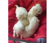 Miniature Maltese pups
