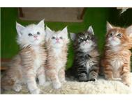 4 Maine Coon Kittens AVAILABLE