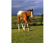 Stunning Warmblood x Appaloosa Colt For Sale