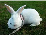 Rabbits-New Zealands and Flemish gi...