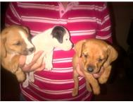 stafie cross pups Pretoria