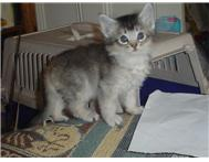 Lovely Somali Kittens for sale.