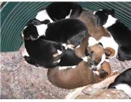 Red Tick x Border Collie puppies For Sale