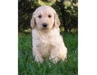Golden doodle puppies for sale Western Cape
