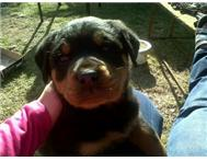 Rotweiler puppy / last male left