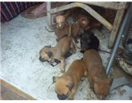 pure bread pitbull pups for sale