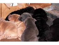 Sharpei puppies. Only 4 left.