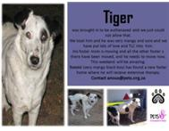 Tiger 2 - was rescued - now in foster care - please adopt me.