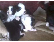 Pedigree Border Collie Puppies
