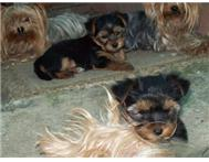 Male Pedigree Yorkshire Terrier in Dogs & Puppies For Sale Western Cape Mossel Bay Town - South Africa