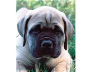 Male Purebred Boerboel in Dogs & Puppies For Sale Limpopo Modimolle - South Africa