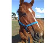 URGENT Half Bait Chestnut Thoroughbred