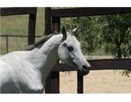 Beautiful Arabian Female Horse For Sale