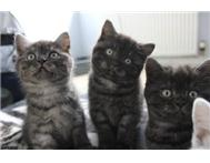 Pedigree British shorthair kittens now ready for new homes