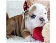 Vet ckecked english bulldog puppy t... Durban