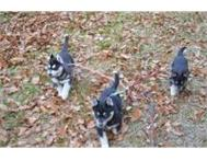 Pure Breed 100 Male and Female Siberian Husky puppies Puppies Johannesburg