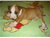 Thoroughbred English Bull Terrier P...