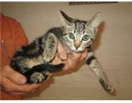 Kitten - Tabby would love an forever home