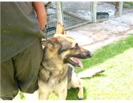 GERMAN SHEPHARD SECURITY DOGS Pretoria