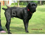 KUSA registered imported Cane Corso