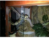 BALL PYTHONS AND CAGES FOR SALE