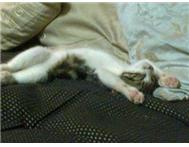 Female House Cat in Cats & Kittens For Sale Mpumalanga Komatipoort - South Africa