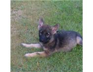 German shepard cross puppies for sale