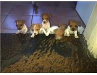 Male & Female Purebred Jack Russell Terrier in Dogs & Puppies For Sale KwaZulu-Natal