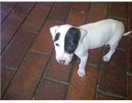 Bull Terrier puppies with eye patch