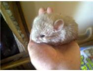 Beige Male Chinchilla For Sale