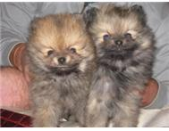Miniature Toy pom puppies for sale