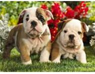 English Bulldog puppies now ready for thier new homes ! East London