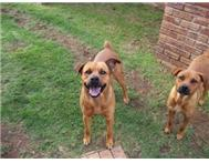 3Yr Boerbull Cross Rotweiler Give a...