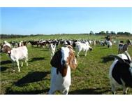Boer Goats and Merino sheep for sale